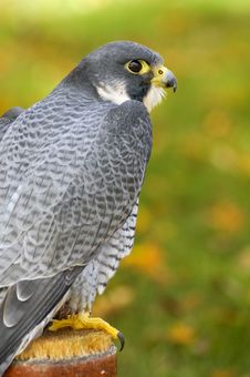Free Peregrine Falcon (Falco Peregrinus) Sits On Perch Stock Photography - 1678952