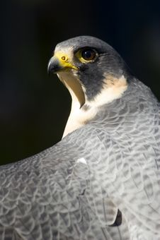 Free Peregrine Falcon (Falco Peregrinus) Against Dark Background Stock Photo - 1678980