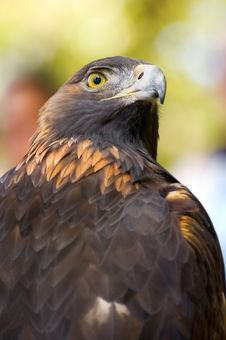 Golden Eagle (Aquila Chrysaetos) Looks Over Shoulder Royalty Free Stock Photo