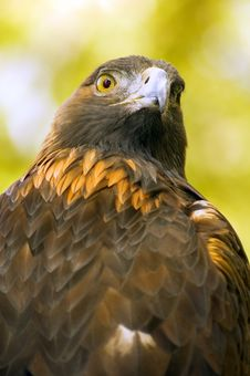 Golden Eagle (Aquila Chrysaetos) Against Green-Gold Background Stock Photo