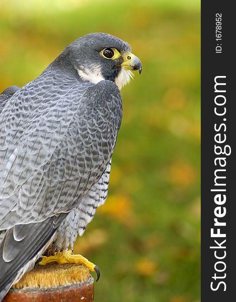 Peregrine Falcon (Falco peregrinus) Sits on Perch
