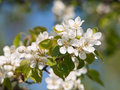 Free Flowering Branch Royalty Free Stock Images - 16700489