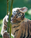 Free Tiger Cub Royalty Free Stock Photography - 16706117