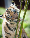Free Tiger Cub Royalty Free Stock Images - 16706139