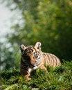 Free Tiger Cub Stock Photo - 16706190
