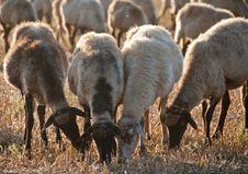 Free Sheep Royalty Free Stock Images - 16700099