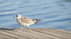 Free Gull Walking Royalty Free Stock Photography - 16700397
