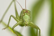 Free Grasshopper Stock Photography - 16700592