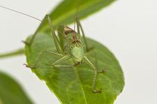 Free Grasshopper Stock Photos - 16700613