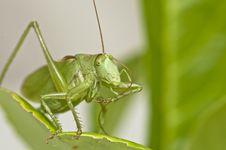 Free Grasshopper Stock Image - 16700741