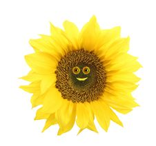 Free Sunflower Royalty Free Stock Image - 16701066