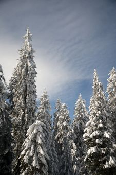 Free Snowy Trees Stock Image - 16702251