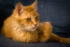 Red Tabby Cat  On Arm Chair. Royalty Free Stock Images