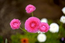 Free Pink Flower Stock Images - 16704824