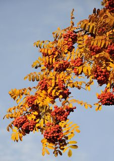 Free Autumn. Mountain Ash On The Blue Sky Royalty Free Stock Images - 16704849