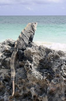 Free Iguana On Rock At Caribbean Beach Stock Photography - 16705632