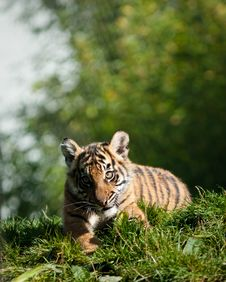 Free Tiger Cub Stock Photo - 16706190