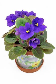 Free Pot With Violet Violets Stock Photography - 16706882
