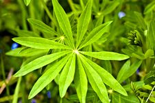 Free Lupine Leaf Stock Image - 16707211
