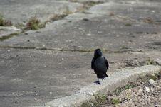 Crow On A Walk Stock Image