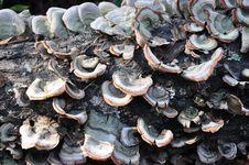 Free Fungi On A Tree Royalty Free Stock Photos - 16708198