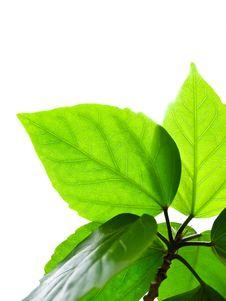 Free Leaf Royalty Free Stock Photo - 16708785