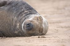 Free Basking Grey Seal Stock Photography - 16708892