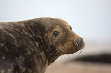 Free Bull Grey Seal Royalty Free Stock Photos - 16708908