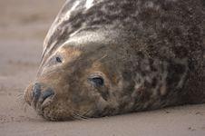 Free Bull Grey Seal Stock Photo - 16708930