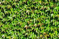 Free Wall Perfectly Covered By Colorful Boston Ivy Royalty Free Stock Photo - 16708975