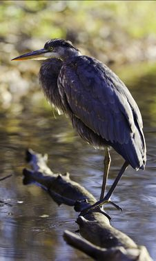 Whole Great Blue Heron Stock Photography