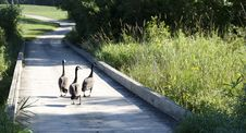 Free Geese On The Bridge Stock Image - 16709621