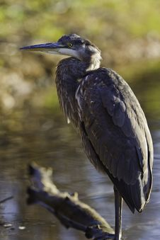 Free Great Blue Heron Stock Images - 16709634