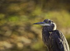 Great Blue Heron Looking Left Royalty Free Stock Photo