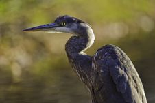 Great Blue Heron Waiting Royalty Free Stock Images