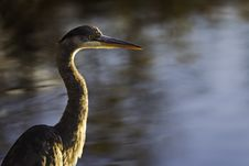 Great Blue Heron With Water Background