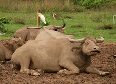 Bird Sits On A Water Buffalo Stock Photos