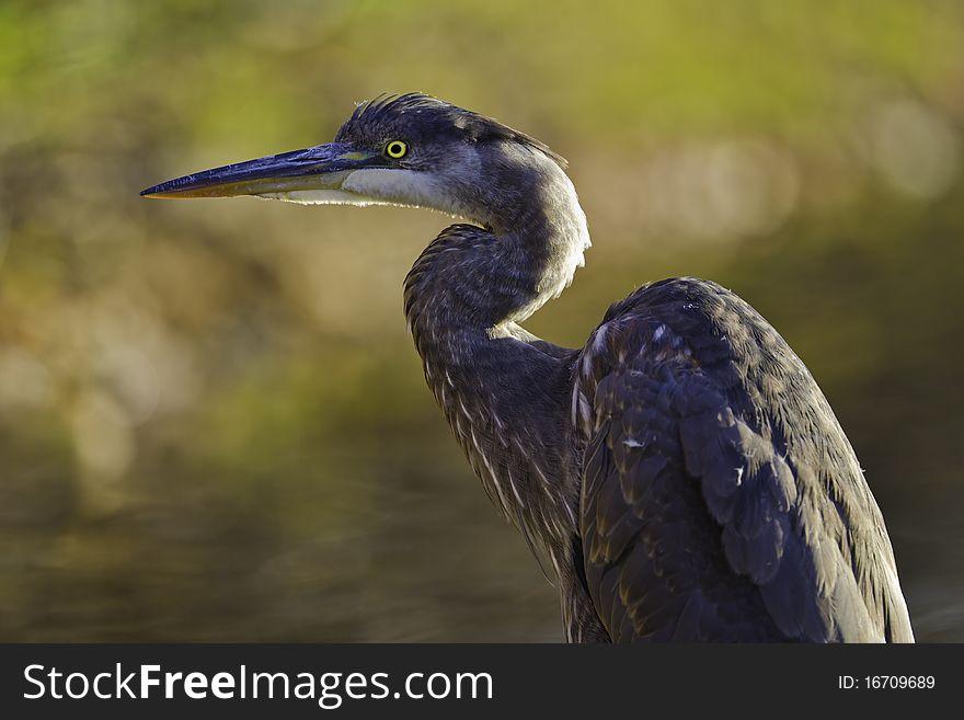 Great blue heron waiting
