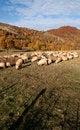 Free Sheeps Royalty Free Stock Photos - 16710448