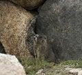 Free Marmot Stock Images - 16712454