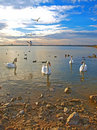 Free Swans And Sea-gulls In The Sunset Royalty Free Stock Photography - 16713857