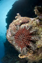 Free A Crown-of-thorns Starfish, Damaging To Coral Reef Royalty Free Stock Photography - 16718647