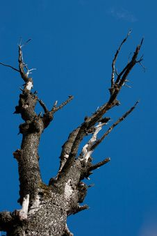 Free Dead Tree On Blue Sky Stock Image - 16710341