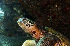 Free Green Sea Turtle Stock Image - 16710611