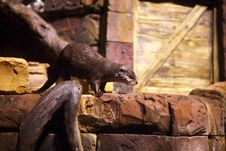 Free Otter In Atlanta Aquarium Royalty Free Stock Photos - 16712338