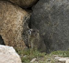Free Marmot Stock Images - 16712454
