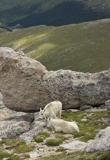 Free Young Mountain Goats Stock Photo - 16712460