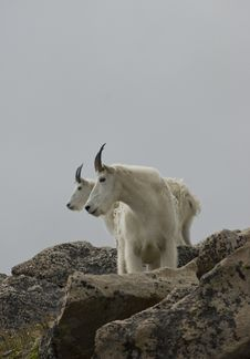 Free Mountain Goats Profile Royalty Free Stock Image - 16712496