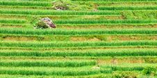 Free Rice Fields In Vietnam Royalty Free Stock Photo - 16712605