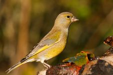 Free Greenfinch Royalty Free Stock Images - 16713639